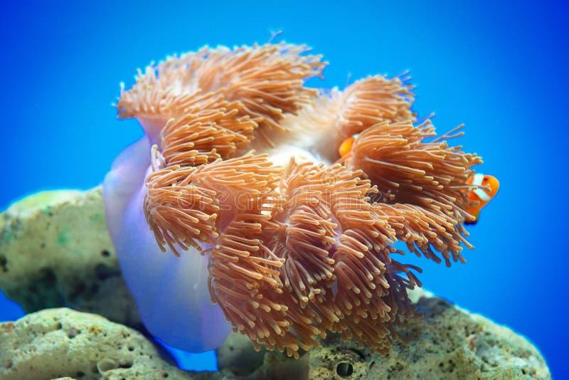 五颜六色的海葵 免版税库存照片