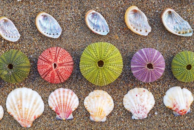 五颜六色的海顽童和壳在海滩 免版税库存照片