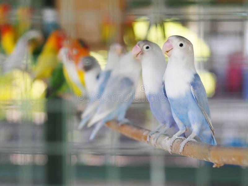 五颜六色的淡色音色爱情鸟小的逗人喜爱的幼小鹦鹉 库存图片