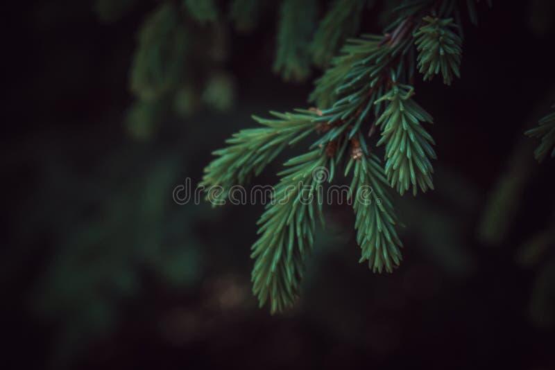 五颜六色的深绿云杉的分支有黑暗的背景 库存照片