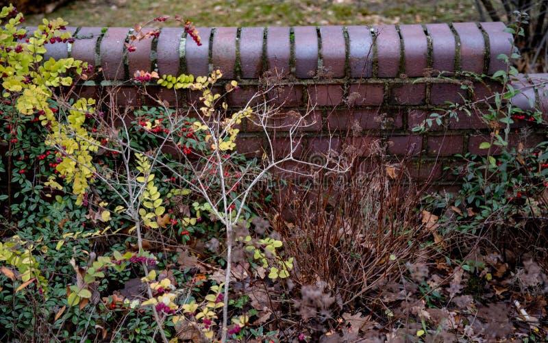 五颜六色的湿植物有老砖墙背景 在灌木的小红色莓果与绿色和黄色叶子 秋天多雨天气 免版税库存照片