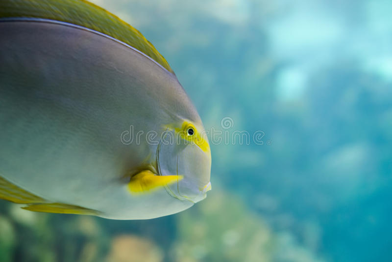 五颜六色的热带夏威夷和平的鱼 图库摄影