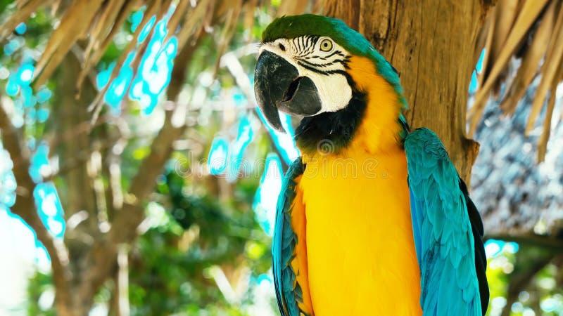 五颜六色的猩红色金刚鹦鹉鹦鹉蓝色和黄色金刚鹦鹉//画象反对密林背景的 库存照片