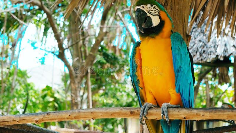 五颜六色的猩红色金刚鹦鹉鹦鹉蓝色和黄色金刚鹦鹉//画象反对密林背景的 免版税图库摄影