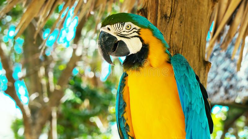 五颜六色的猩红色金刚鹦鹉鹦鹉蓝色和黄色金刚鹦鹉//画象反对密林背景的 免版税库存照片