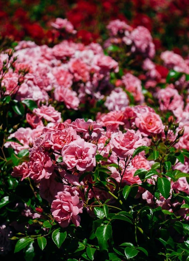 五颜六色的玫瑰在一个玫瑰园里 免版税库存图片