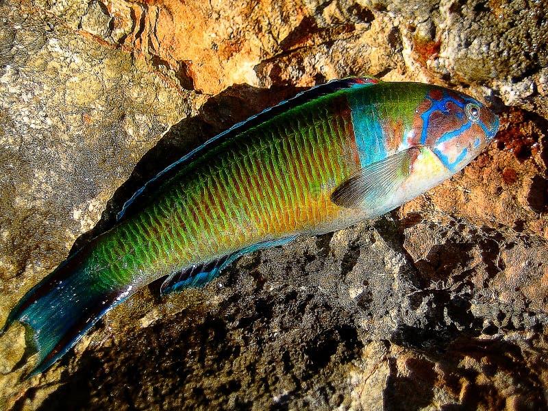 五颜六色的珊瑚鱼宏观背景墙纸 免版税库存图片
