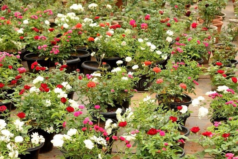 五颜六色的盆的罗斯开花充满活力 免版税库存图片