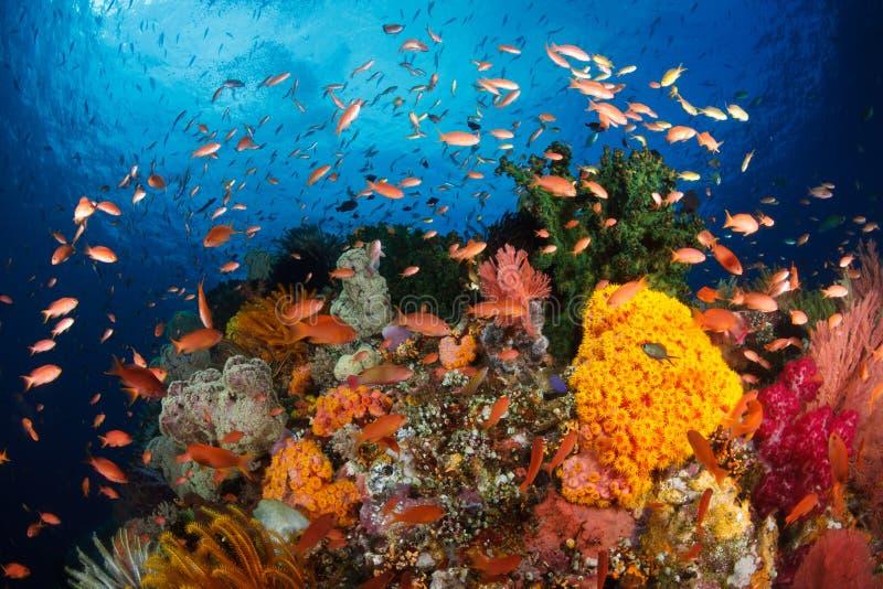 五颜六色的礁石,王侯ampat,印度尼西亚 免版税库存图片
