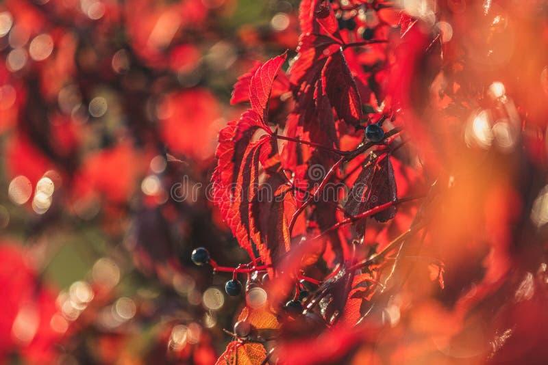 五颜六色的秋天弗吉尼亚爬行物,狂放的葡萄背景关闭 免版税库存照片