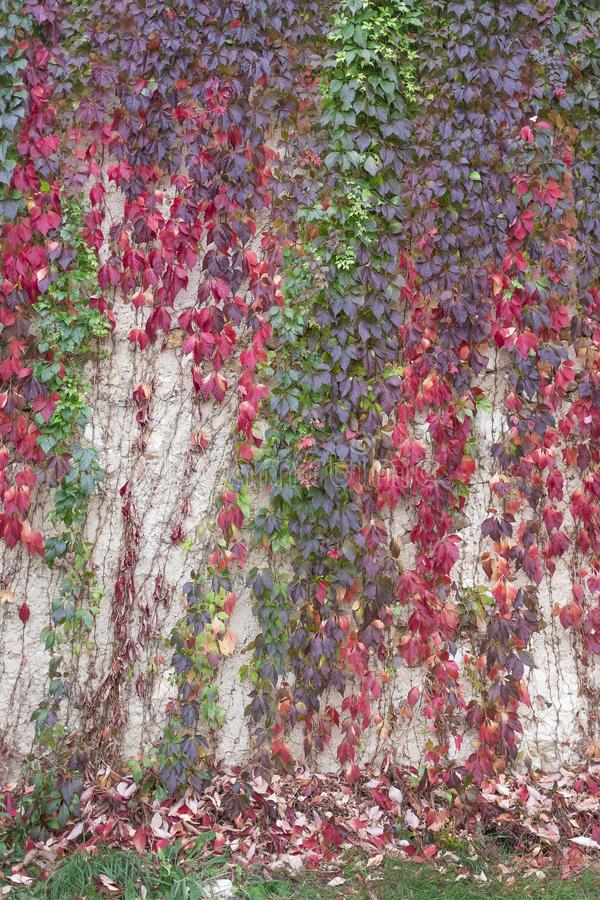 五颜六色的秋天弗吉尼亚爬行物 狂放的葡萄背景 在墙壁上的红色和橙色秋叶 库存照片
