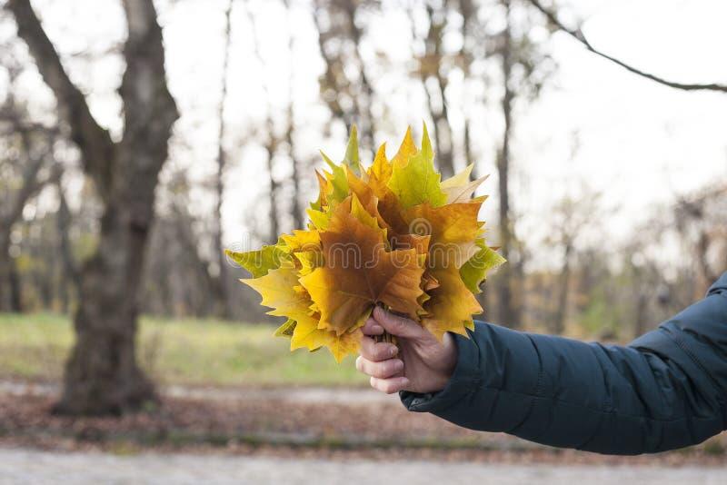 五颜六色的秋天槭树叶子供以人员手 库存照片