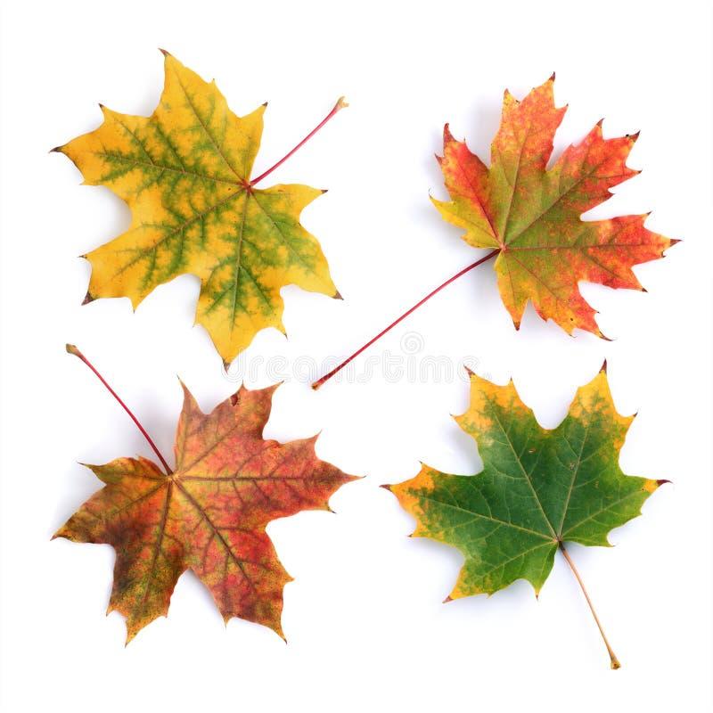 五颜六色的秋天槭树叶子的汇集 免版税库存图片