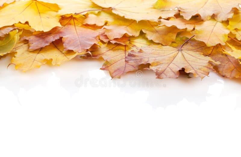 五颜六色的秋天槭树离开框架 库存照片