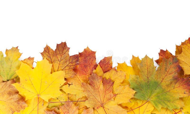五颜六色的秋天槭树离开框架 图库摄影