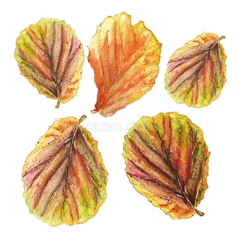 五颜六色的秋海棠的植物的水彩例证在白色背景离开 向量例证
