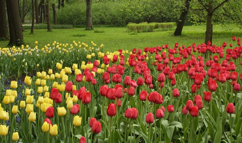 五颜六色的红色和黄色郁金香花圃 图库摄影