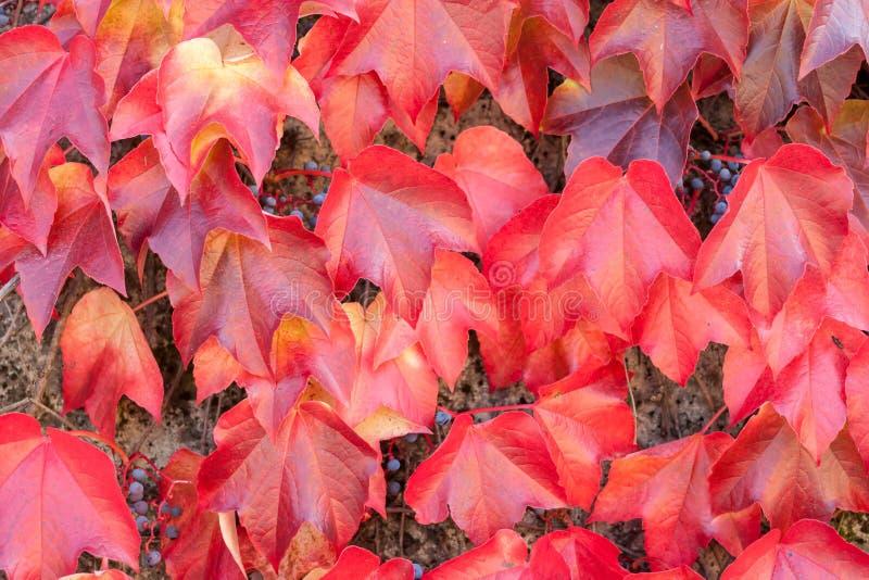 五颜六色的红色狂放的葡萄离开织地不很细背景 免版税图库摄影