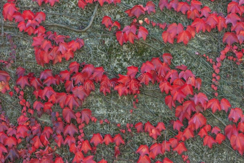 五颜六色的红色狂放的葡萄离开织地不很细背景 免版税库存照片