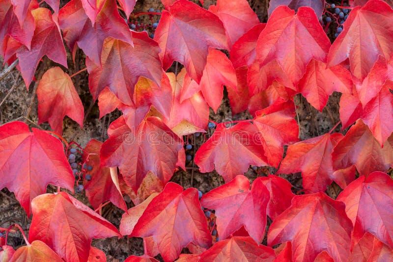 五颜六色的红色狂放的葡萄离开织地不很细背景 免版税库存图片