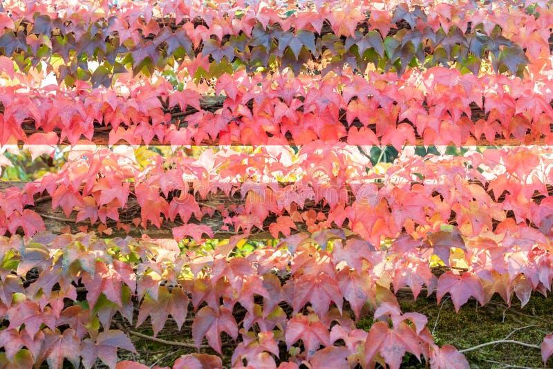 五颜六色的红色狂放的葡萄离开织地不很细背景 库存图片