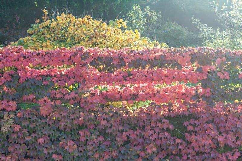 五颜六色的红色狂放的葡萄离开织地不很细背景 图库摄影