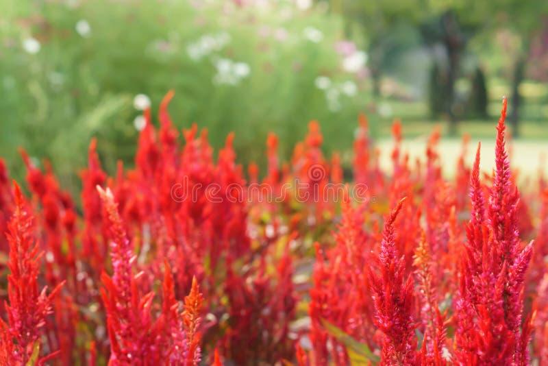 五颜六色的红色饰以羽毛的cockscomb花开花 图库摄影