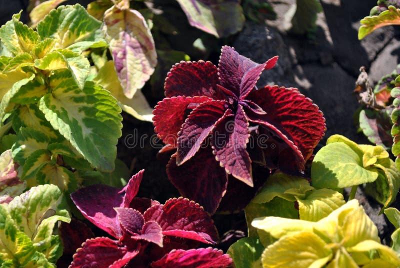 五颜六色的绿色和红色叶子在花床上 库存图片