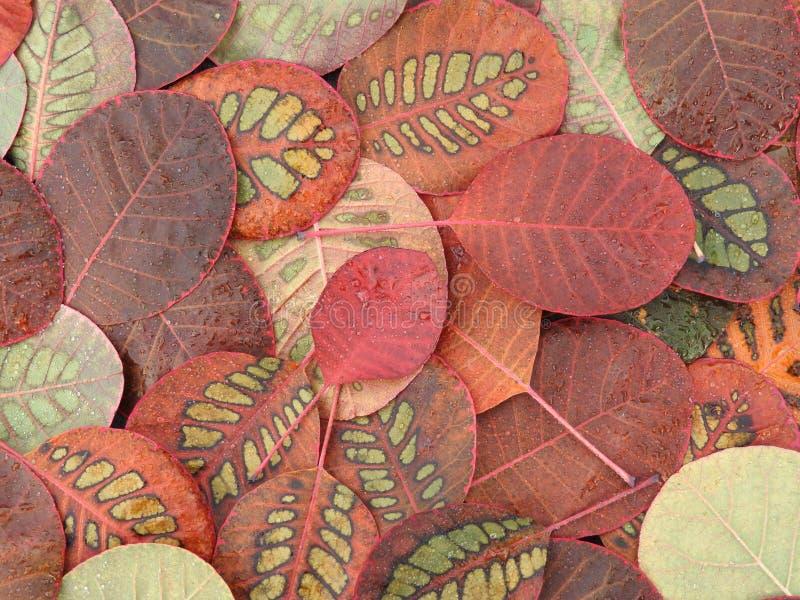 五颜六色的美丽的秋叶,特别样式Cotinus 免版税库存图片