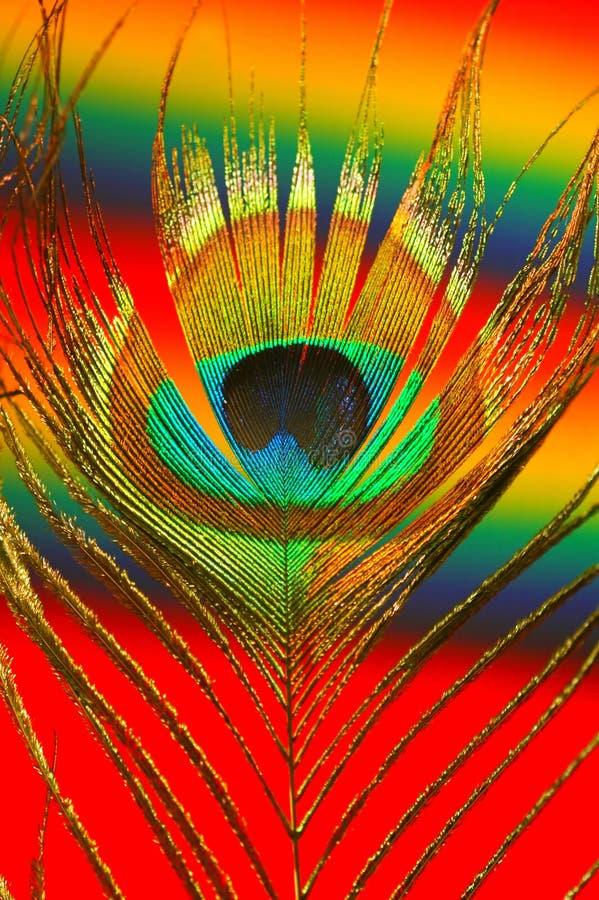 五颜六色的羽毛孔雀 库存图片