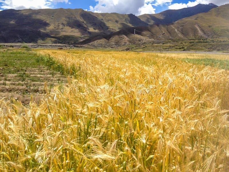 五颜六色的自然金黄麦田美丽的景色与亚洲山脉和蓝天背景的 种田的钉书针, Agricu 库存照片