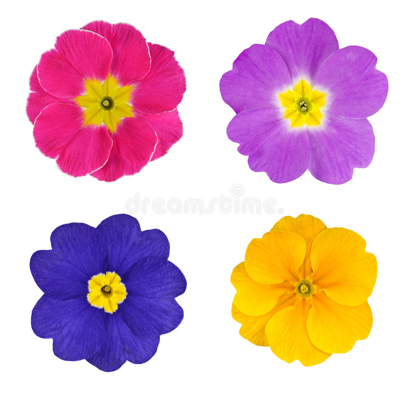 五颜六色的花四朵查出的报春花 免版税库存照片