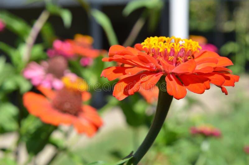五颜六色的花园 开花的橙色万寿菊tagetes花 开花在波兰庭院里的美丽的万寿菊花 免版税图库摄影