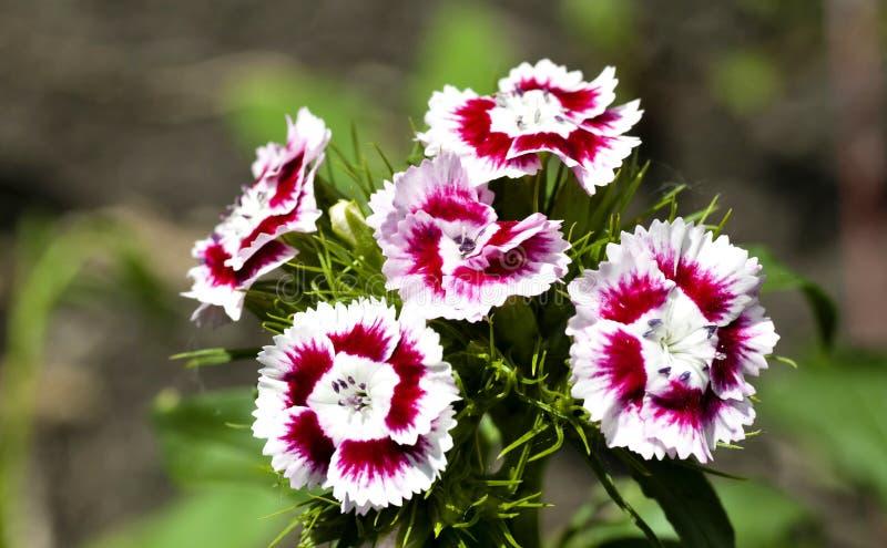 五颜六色的花土耳其语康乃馨 免版税库存照片