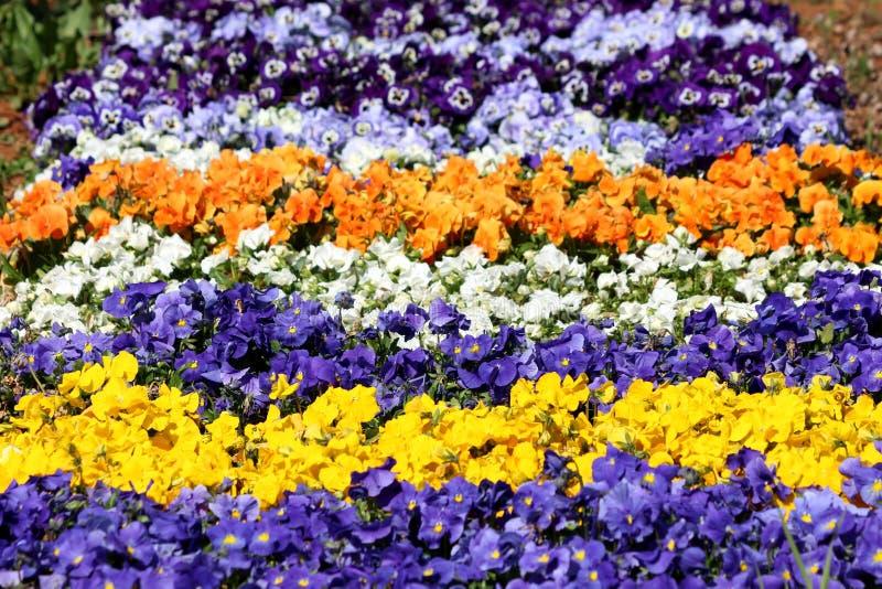 五颜六色的花地毯由三色堇或中提琴三色小野花制成与瓣以各种各样的颜色密集地种植了  免版税库存图片