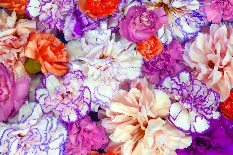 五颜六色的花花束背景由背景和墙纸的五颜六色的康乃馨花墙壁制成 免版税库存照片