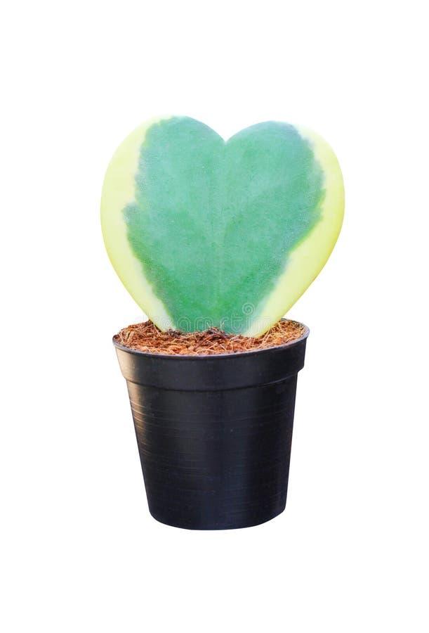 五颜六色的花霍亚kerrii craib或绿色甜心有黄色边界的霍亚在白色隔绝的心形的样式 免版税库存照片