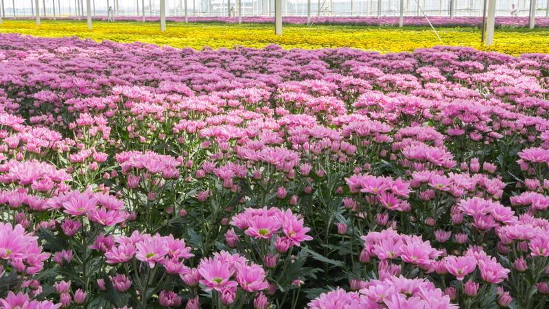 五颜六色的荷兰菊花 库存照片