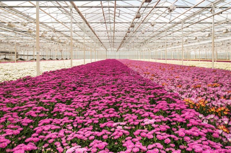 五颜六色的菊花准备好收获 免版税库存照片