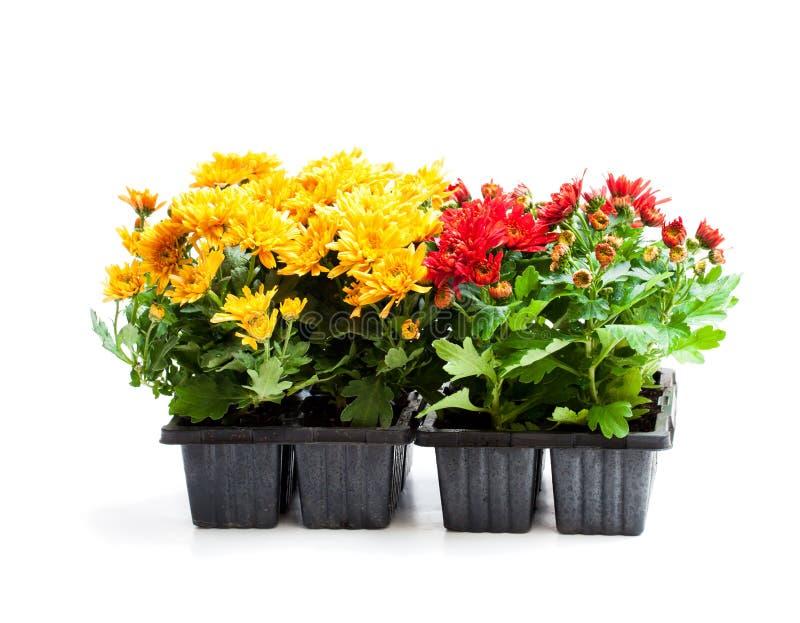 五颜六色的菊花在白色隔绝的小罐开花 免版税库存图片