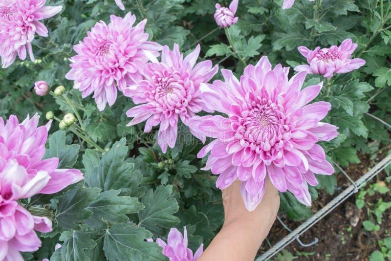 五颜六色的菊花花在庭院里 有时告诉的妈咪开花 库存图片