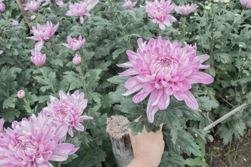 五颜六色的菊花花在庭院里 有时告诉的妈咪开花 库存照片