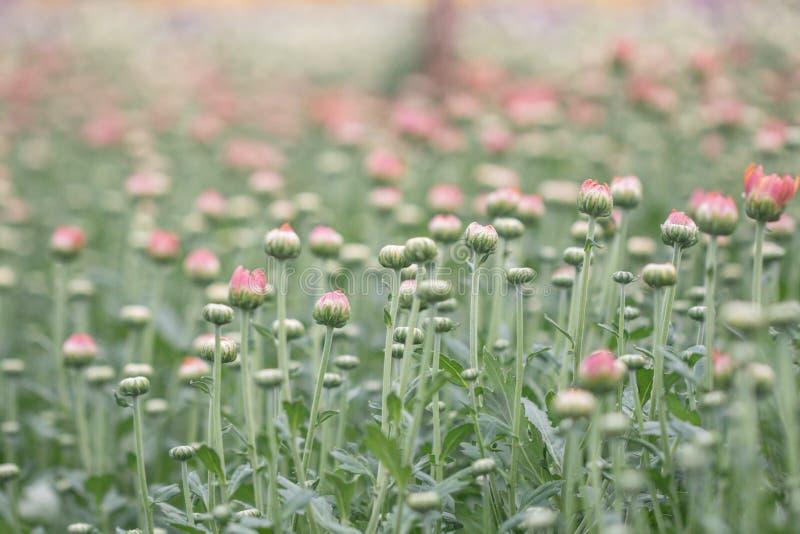 五颜六色的菊花花在庭院里 有时告诉的妈咪开花 免版税图库摄影