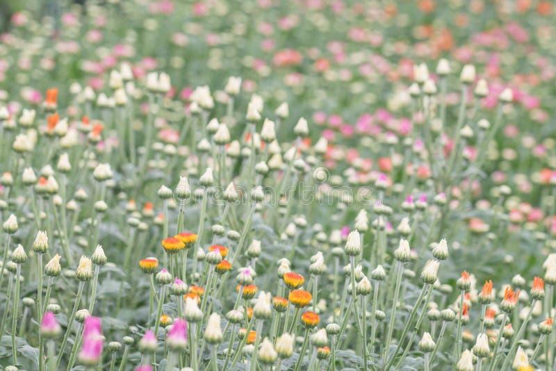 五颜六色的菊花花在庭院里 有时告诉的妈咪开花 图库摄影