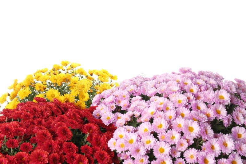 五颜六色的菊花花美丽的花束  免版税图库摄影