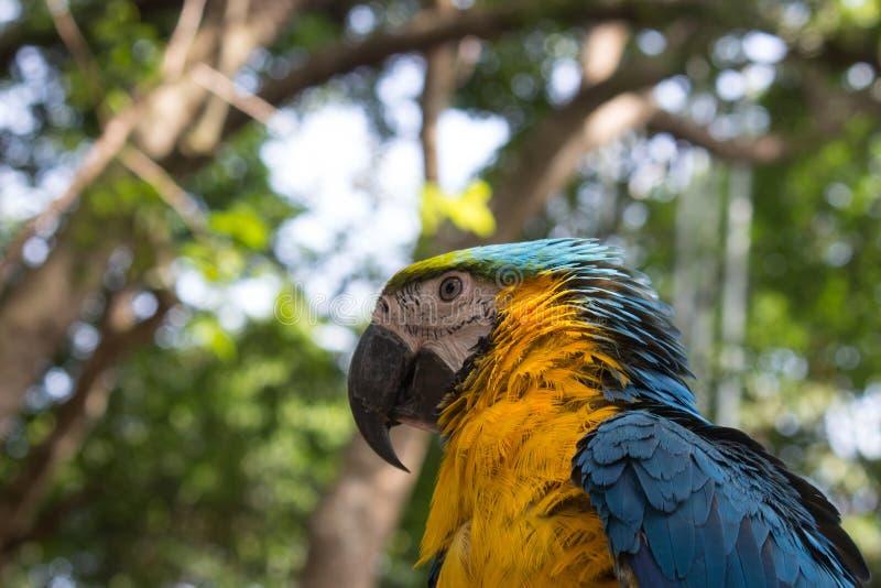 五颜六色的蓝色黄色金刚鹦鹉鹦鹉鸟 库存图片