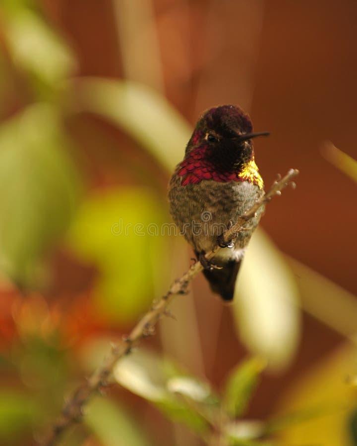 五颜六色的蜂鸟有五颜六色的背景 库存照片