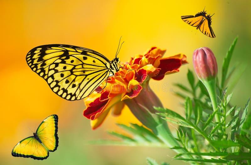 五颜六色的蝴蝶是飞行和坐墨西哥万寿菊花 免版税库存照片