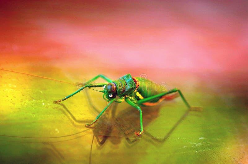五颜六色的蟋蟀 免版税库存图片