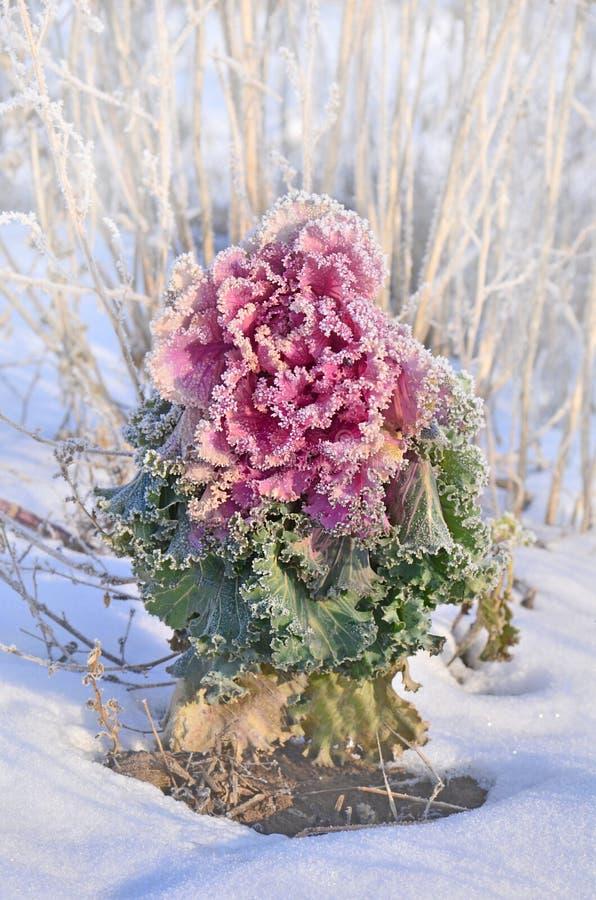 五颜六色的装饰圆白菜在冬天 菜健康冬天食物 免版税库存照片